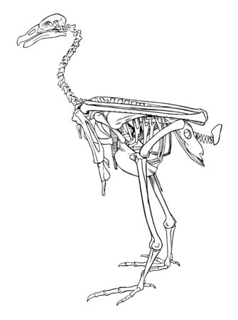 Entire skeleton of condor showing the relative positions of the chief bones, vintage line drawing or engraving illustration.