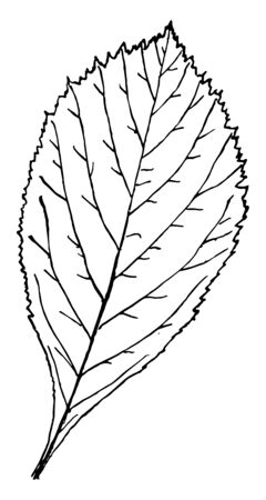 A picture of an egg shaped leaf having even lobes, vintage line drawing or engraving illustration.