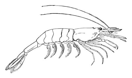 Prawn is belonging to the sub order Dendrobranchiata, vintage line drawing or engraving illustration.