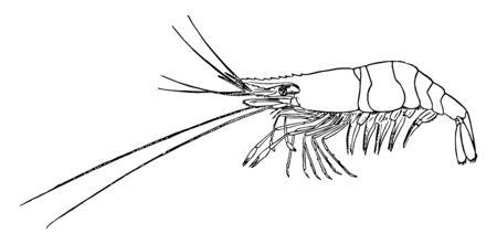 Shore Shrimp is the common shore shrimp, vintage line drawing or engraving illustration.