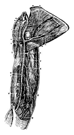 This illustration represents Arteries of the Arm, vintage line drawing or engraving illustration.