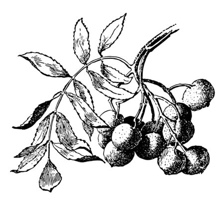 A branch of Sorbus Domestica with fruits hanging on it. Fruits are having shape of pear, vintage line drawing or engraving illustration. Reklamní fotografie - 133014142