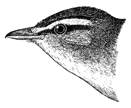 Red eyed Vireo is a small American songbird, vintage line drawing or engraving illustration.