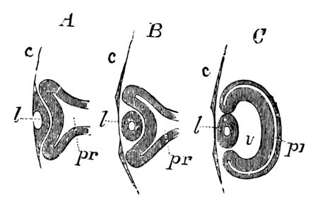 This illustration represents Development of the Primary Optic Vesicle in a Chick, vintage line drawing or engraving illustration. Stock Illustratie