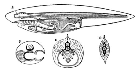 Diagrammatic sections of the ideal vertebrate, vintage line drawing or engraving illustration.
