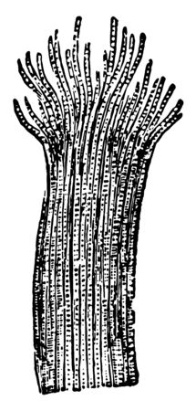 This illustration represents Cross Striped Muscular Tissue, vintage line drawing or engraving illustration.