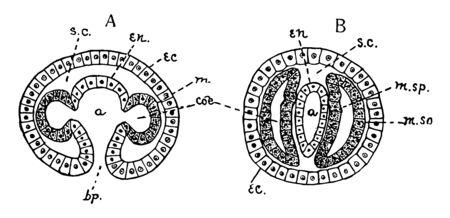 Mesoderm formed by pouches from entoderm after gastrulation, vintage line drawing or engraving illustration. Illustration