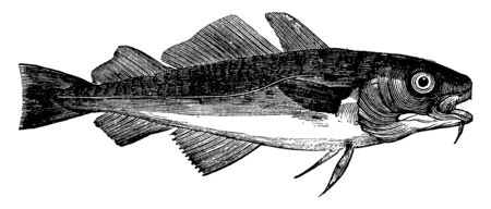 Common Cod is two to four feet long, vintage line drawing or engraving illustration. Иллюстрация