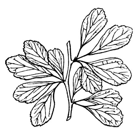 A bunch of spiny and lobed leaves. Size of leaves is variable, vintage line drawing or engraving illustration. 일러스트