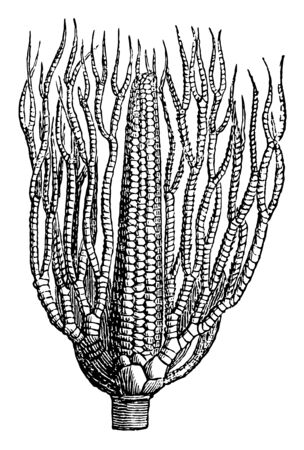 Taxocrinus is paleozonic crinoid. Found in United kingdom, united states, Australia, China & germany. Taxocrinus found in Devonian limestone, vintage line drawing or engraving illustration.