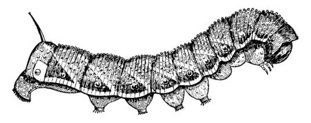 Tomato Worm is a brown and gray hawk moth of the Sphingidae family, vintage line drawing or engraving illustration.