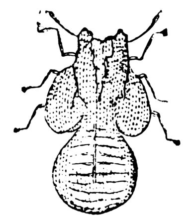 Larva of Psylla Pyrisuga live on pear trees and sometimes apple trees, vintage line drawing or engraving illustration. Ilustração
