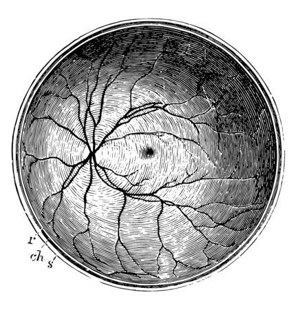 Ta ilustracja przedstawia tylną połowę siatkówki, vintage rysowanie linii lub ilustracja grawerowania.