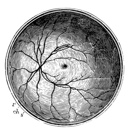This illustration represents Posterior Half of the Retina, vintage line drawing or engraving illustration.