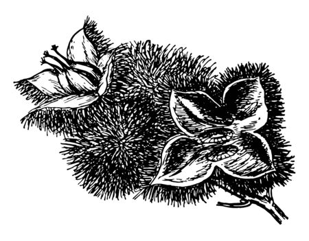 Picture of flowers and fruits of chestnut, vintage line drawing or engraving illustration. Ilustração
