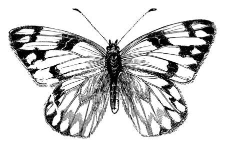 Weiblicher Kohlschmetterling, dessen Vorderflügel an der Spitze abgerundet und mit schwarzer, Vintage-Linienzeichnung oder Gravurillustration markiert sind.