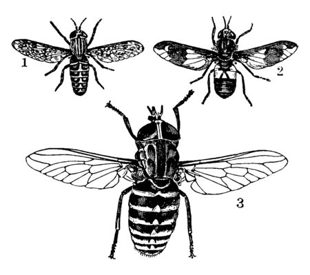 Horsefly in the family Tabanidae in the insect order Diptera, vintage line drawing or engraving illustration.
