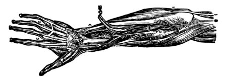 This illustration represents Nerves of the Forearm and Hand, vintage line drawing or engraving illustration.