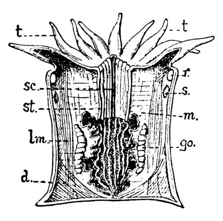 Anthozoan Zooid is divided by a number of radial folds, vintage line drawing or engraving illustration.