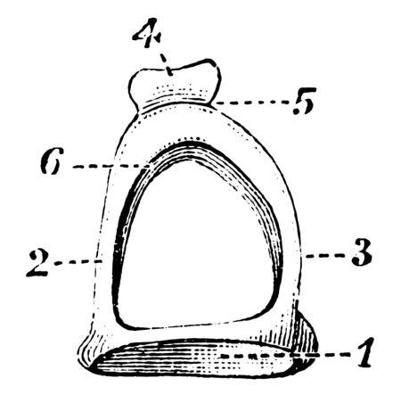 This illustration represents Stapes on Stirrup Bone, vintage line drawing or engraving illustration. Illustration