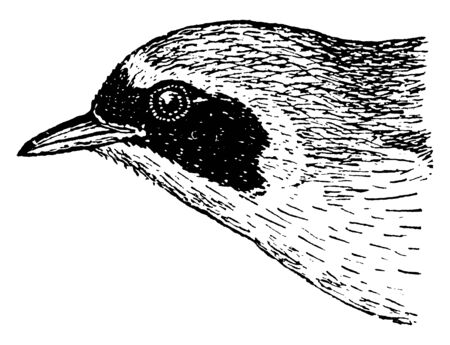 Yellow throat Vireo is a small American songbird, vintage line drawing or engraving illustration. Фото со стока - 133016498