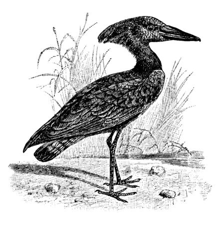 Hammerkop is a wading bird in the Scopidae family named for the shape of its crest and beak, vintage line drawing or engraving illustration. Ilustração