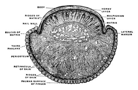 This illustration represents Transverse Section Through Fingernail and Finger, vintage line drawing or engraving illustration. Illustration