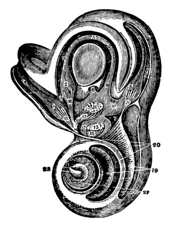 This illustration represents Labyrinth and Vestibule of the Ear, vintage line drawing or engraving illustration.