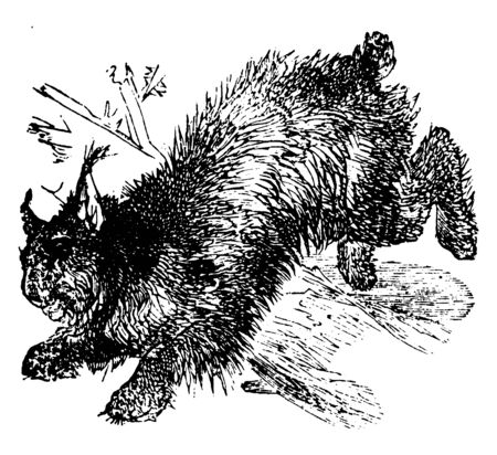 Canada Lynx is remarkable for its gait, vintage line drawing or engraving illustration.