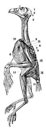 The Superficial Muscles of a Hawk which is remarkable for their marked line of attachment to their tendons, vintage line drawing or engraving illustration. Vectores