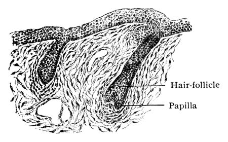 This illustration represents Developing Skin Showing Hair Follicles, vintage line drawing or engraving illustration. Иллюстрация
