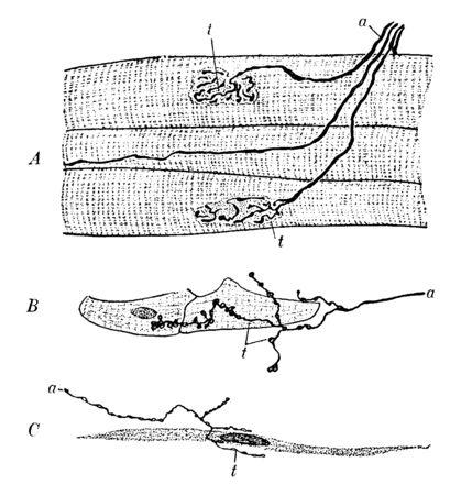 This illustration represents Motor Nerve Endings, vintage line drawing or engraving illustration.