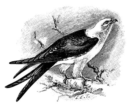 Swallow Tailed Kite is a large bird of the Accipitridae family of birds of prey, vintage line drawing or engraving illustration.