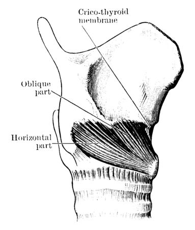 This illustration represents Cricothyroid Muscle, vintage line drawing or engraving illustration.