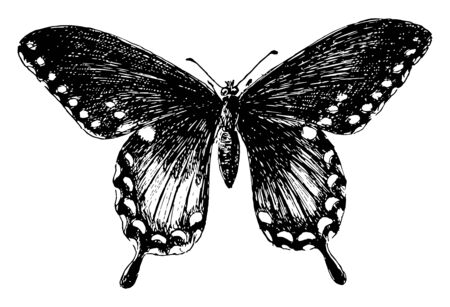 P Troilus Butterfly which is called Papilio troilus, vintage line drawing or engraving illustration.