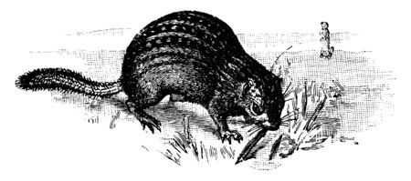 Thirteen Lined Spermophile which is also Called a Federation Squirrel, vintage line drawing or engraving illustration. Ilustração