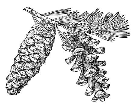 Pine cones of foxtail pine, vintage line drawing or engraving illustration. Reklamní fotografie - 133014521