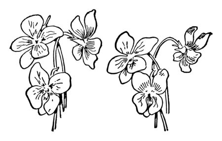 Violets also known as viola. Typically are heart shaped. These flowers are found in areas such as Hawaii, Australasia, and the Andes, Vintage line drawing or engraving illustration.