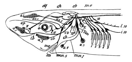 Side view of chief cranial nerves of Elasmobranchs, vintage line drawing or engraving illustration. Stock Illustratie