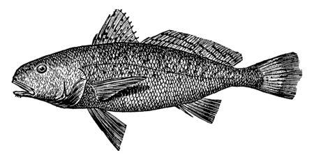 Croaker is a kind of surf fish, vintage line drawing or engraving illustration.