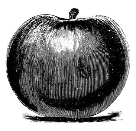 In this image are the Baldwin apples, vintage line drawing or engraving illustration.