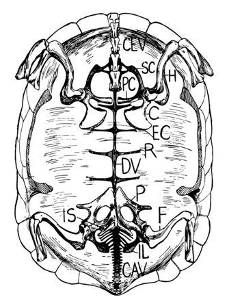 Internal view of tortoise skeleton, vintage line drawing or engraving illustration. Ilustrace