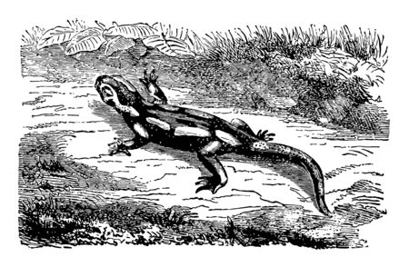 Land Salamander have the honor of appearing prominently in fabulous narratives, vintage line drawing or engraving illustration.