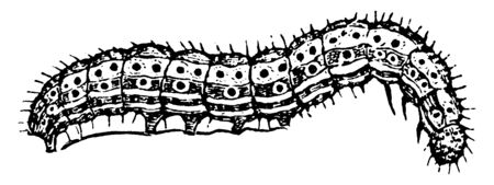 Cotton Worm usually feeds on the cotton plant, vintage line drawing or engraving illustration.