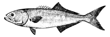 Bluefish average weight from 3 to 6 pounds, vintage line drawing or engraving illustration.