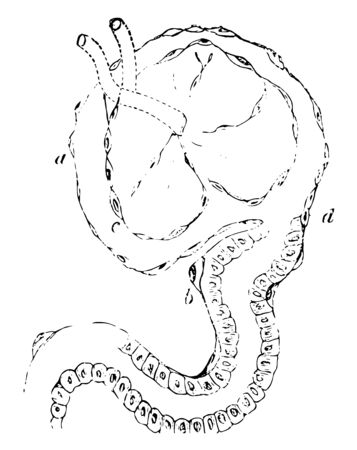 This illustration represents Epithelial Elements of a Malpighian Capsule, vintage line drawing or engraving illustration.