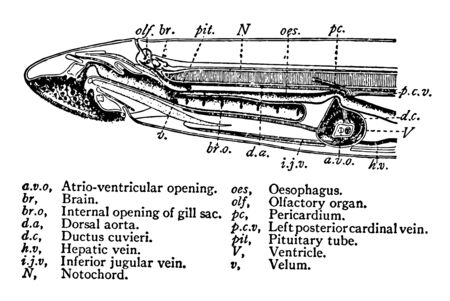 This image represents Cross Section View of a Sea Lamprey, vintage line drawing or engraving illustration.