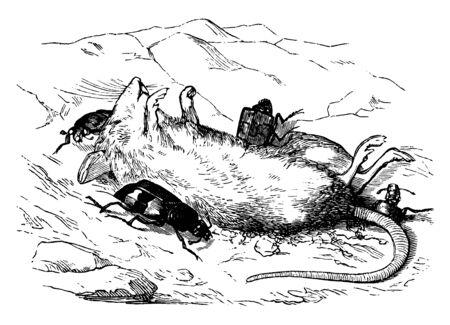 Chrząszcze grzebiące są skłaniane przez owady do zakopywania małych zwierząt, vintage rysowania linii lub grawerowania ilustracji. Ilustracje wektorowe