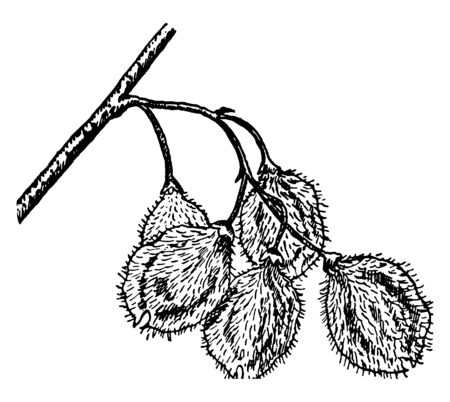 Rock, or cork, elm (U. thomasii) has hard wood and twigs that often develop corky ridges, vintage line drawing or engraving illustration.