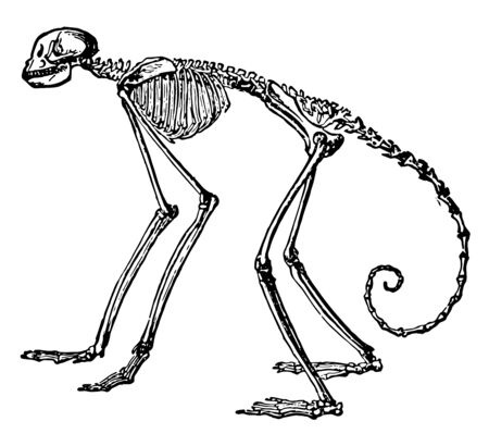 Side View of Skeleton of South American Spider Monkey in which the proportion in the spider monkeys of the genus Ateles, vintage line drawing or engraving illustration. 写真素材 - 133016100